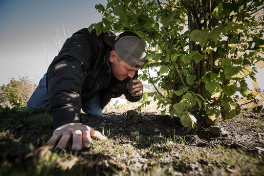 Brian Malone, 39, orchard manager at Jackson Family vineyards sniffs the earth as he searches for truffles in Santa Rosa, California. Often the scent of fresh truffles is so powerful that just getting near the roots of oak and hazelnut trees can reveal their location.