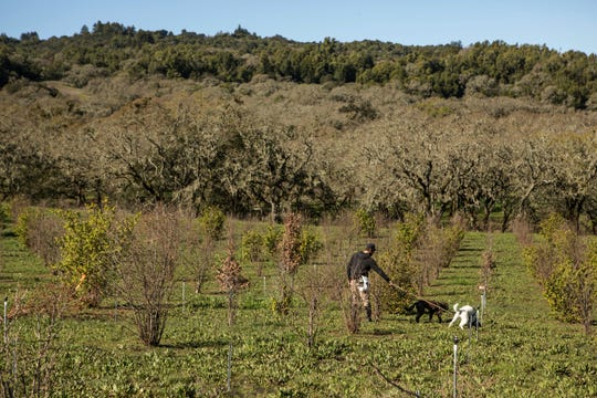 Seth Angerer, 35, searches for truffles with his Lagotto Romagnolo truffle hunting dogs Leo (white) and Vito in Santa Rosa, California. Angerer and his family own Alexander Valley Truffle Company just north of Santa Rosa.