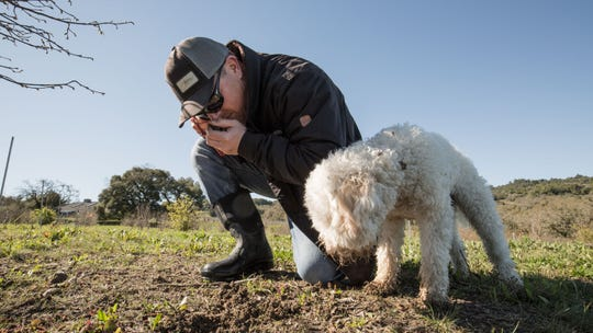 Brian Malone, 39, orchard manager at Jackson Family vineyards, sniffs the earth as he searches for truffles with his dog Lia on the Jackson Family Wines truffle orchard in Santa Rosa, California.