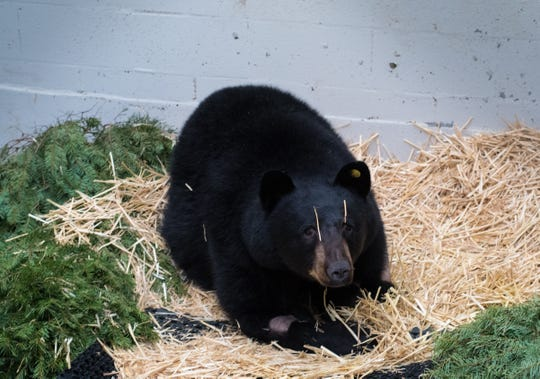 The black bear hit by a vehicle near Poulsbo in December recovers at the PAWS Wildlife Center in Lynnwood.