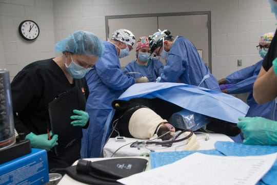 A team of surgeons and techs perform surgery on a black bear that was hit by a vehicle near Poulsbo in December.