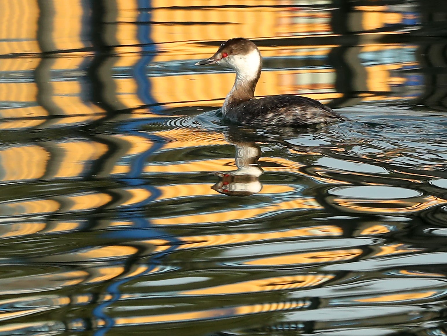 A horned grebe paddles through the reflective waters of the Poulsbo Marina on Friday, March 15, 2019.