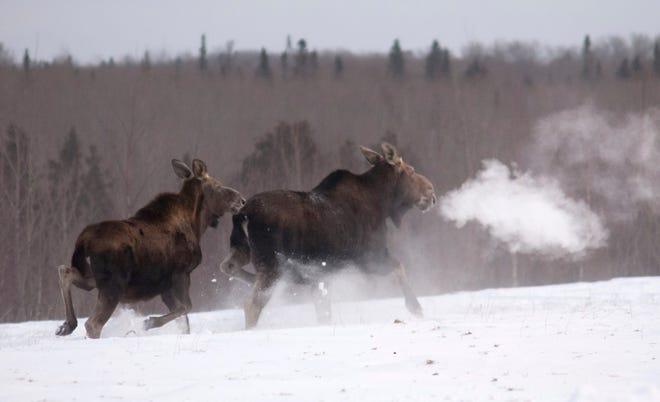 Findings suggest moose in the western U.P. are increasing about 2 percent a year on average, said Russ Mason, chief of the department's Wildlife Division.