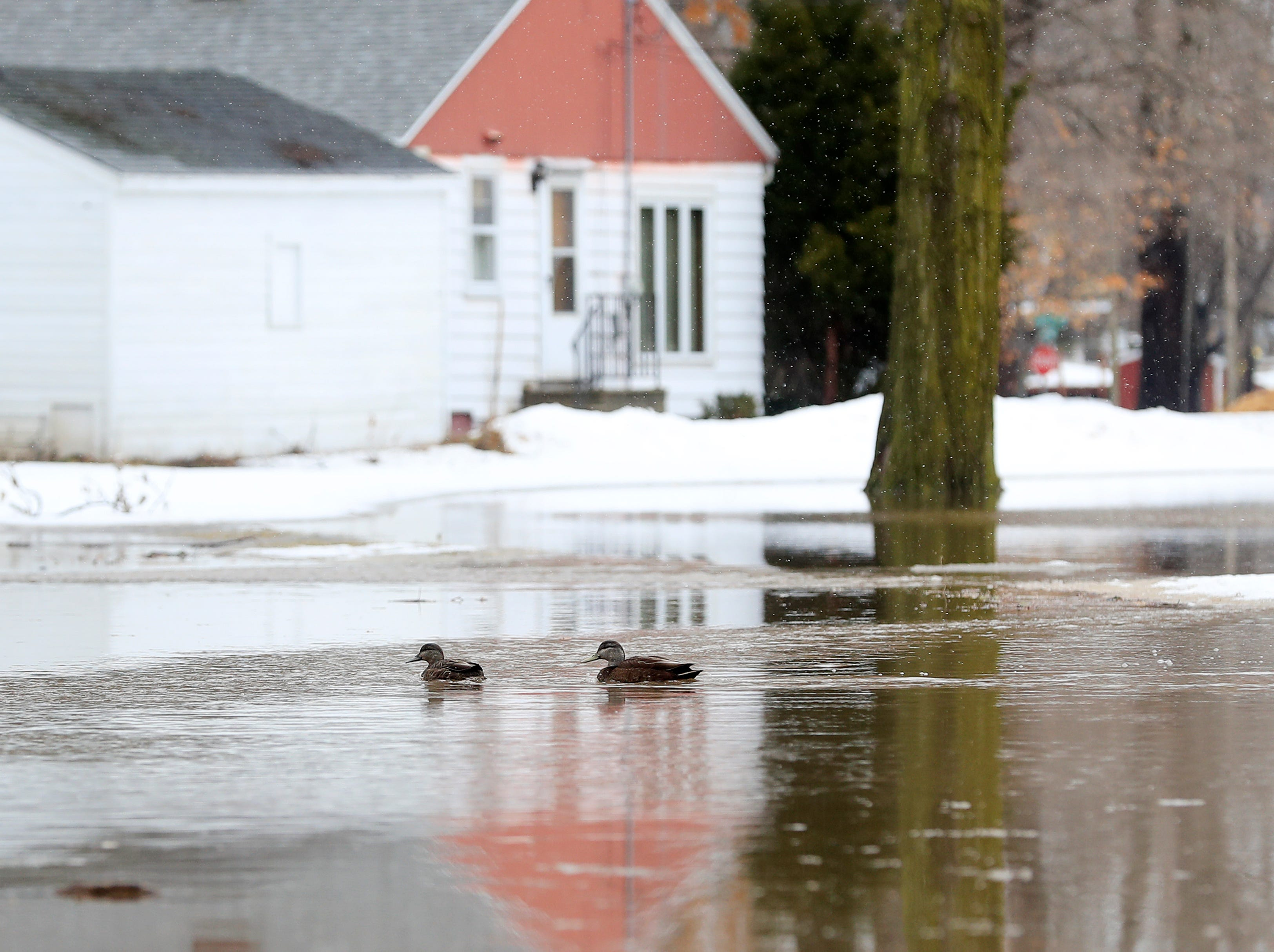 Ducks swim through floodwaters near Mason Street on Friday, March 15, 2019 in Green Bay, Wis.