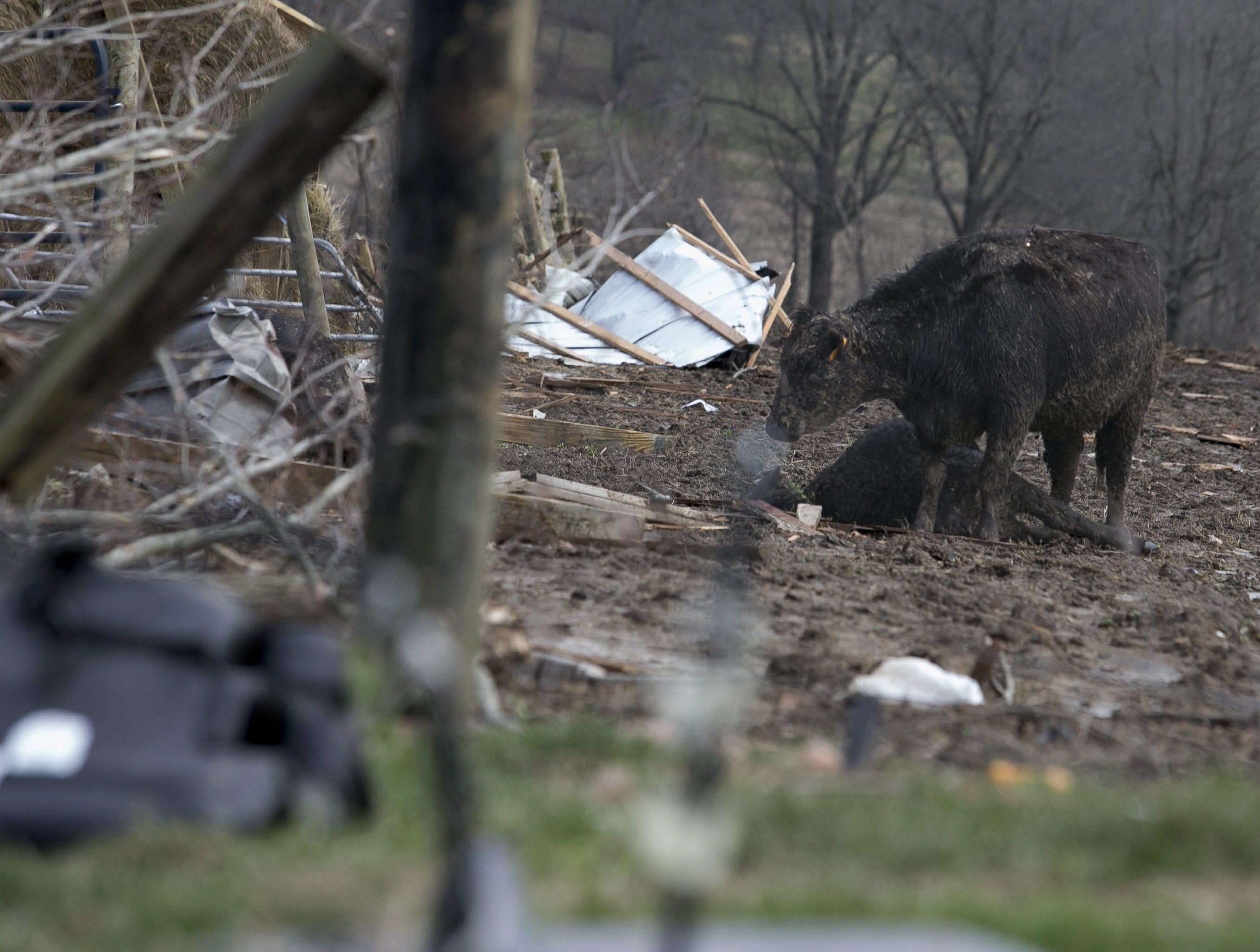 A mother cow mourns the death of her calf after a devastating tornado touched down on a farm in McCracken County, Ky., on Thursday, March 14, 2019.