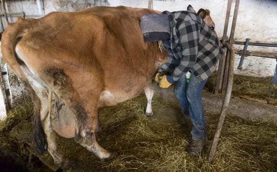 Emily Harris uses an organic treatment made by a Wisconsin veterinarian to treat an infected hoof March 6, 2019, on Wylymar Farms, the small organic dairy farm she owns with her wife, Brandi, in Monroe.
