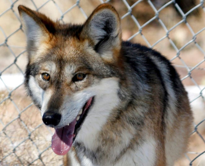 This Dec. 7, 2011, file photo, shows an endangered Mexican wolf at the Sevilleta National Wildlife Refuge in central New Mexico. Two endangered Mexican wolves have been removed from the wild and are undergoing testing to determine if they're behind a string of livestock deaths in southwestern New Mexico, marking the latest wrinkle in the strained effort to return the predators to the American Southwest.