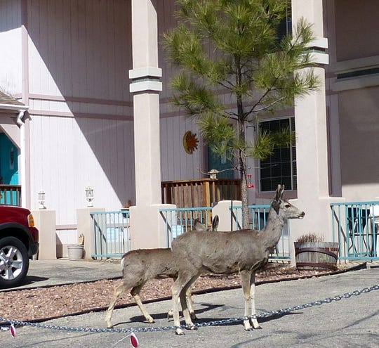 Mule deer gladly substitute for the bronze and plaster lawn decorations throughout the village of Ruidoso.