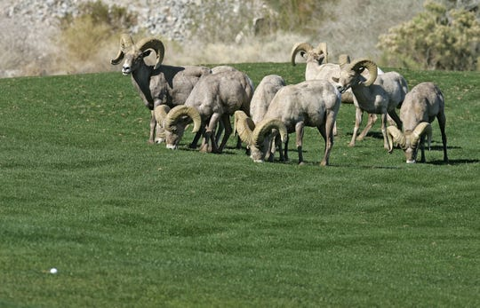 Jay Calderon/The Desert Sun A group of eight endangered Peninsular bighorn sheep came down from the mountain to graze on the grass at the 16th hole at PGA West during the Bob Hope Chrysler Classic Saturday, January 19th in La Quinta, California