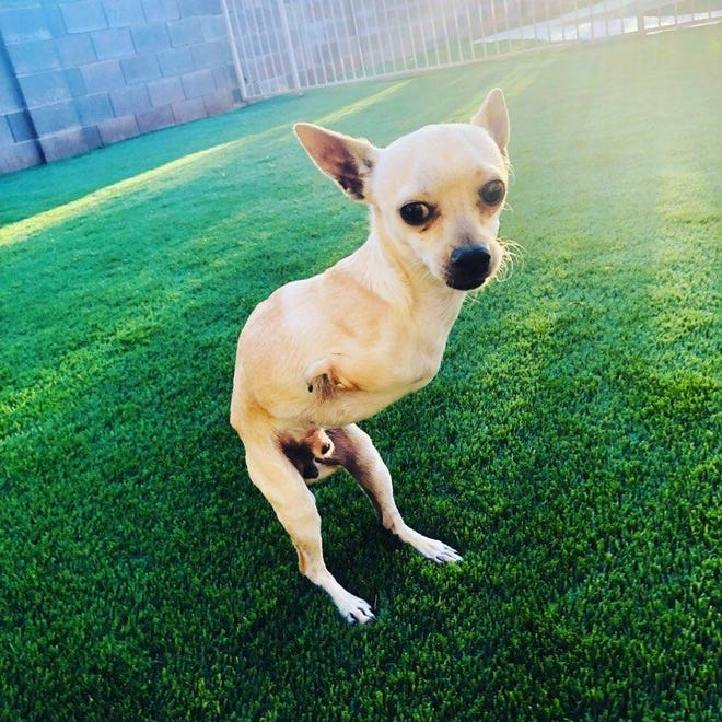 Joey, a 3-year-old Chihuahua missing his two front legs, was rescued by a Tucson family.