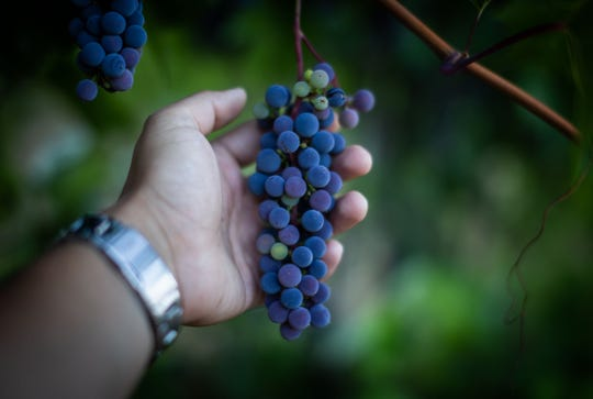 Basin and Range Cellars of Reno grows four unusual hybrid grapes at its vineyard outside of Minden.