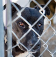 A dog looks out from behind its fence at the Yerington Animal Shelter.