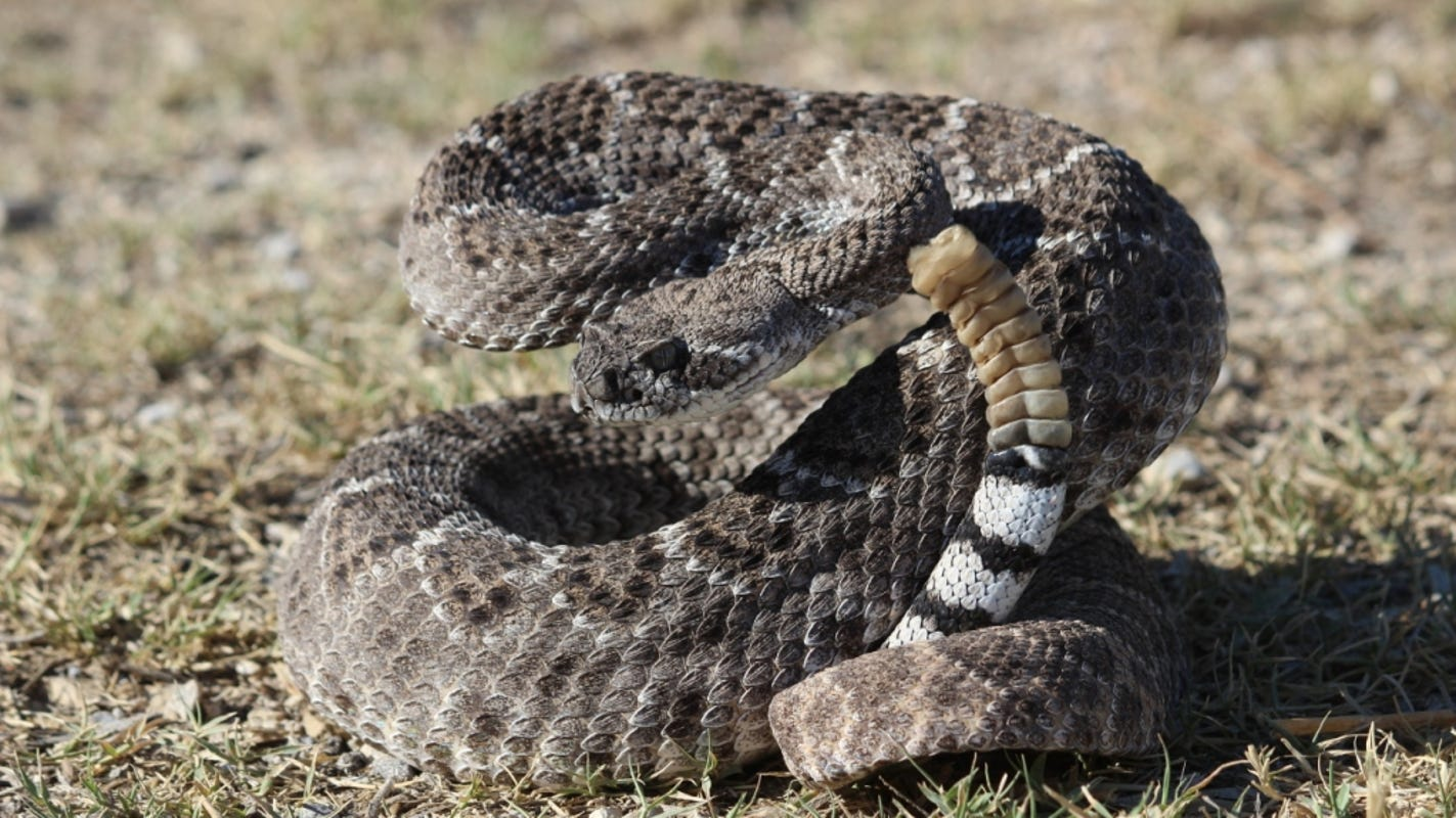 Best To Keep Your Distance From These Texas Snakes With