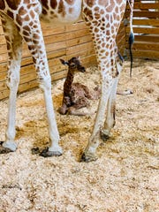 April the Giraffe's newborn baby boy, Azizi, in March.