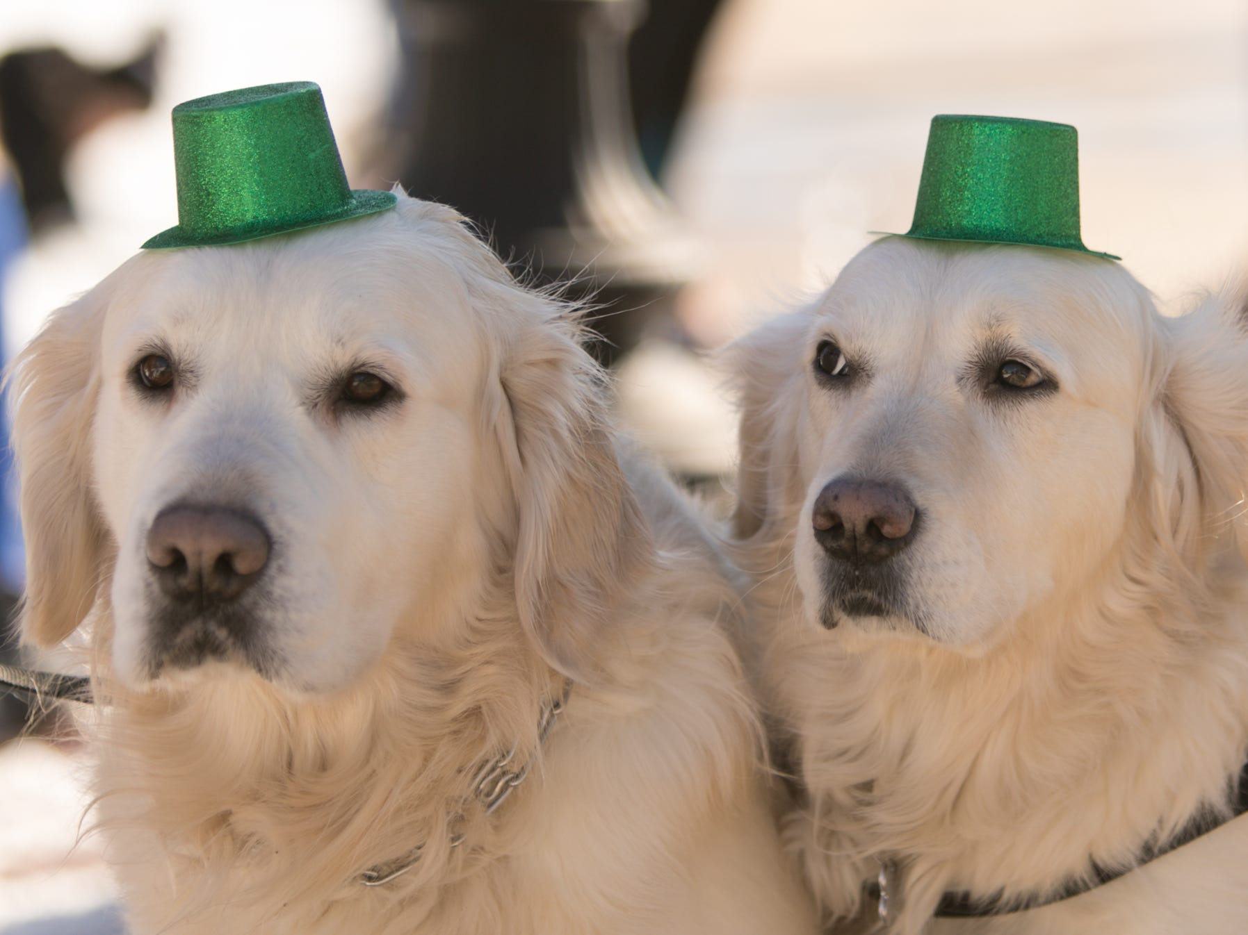 English cream golden retrievers Buddy, left, and Snoopy are dressed for the occasion of the Pinckney St. Patrick's Day parade Saturday, March 16, 2019.