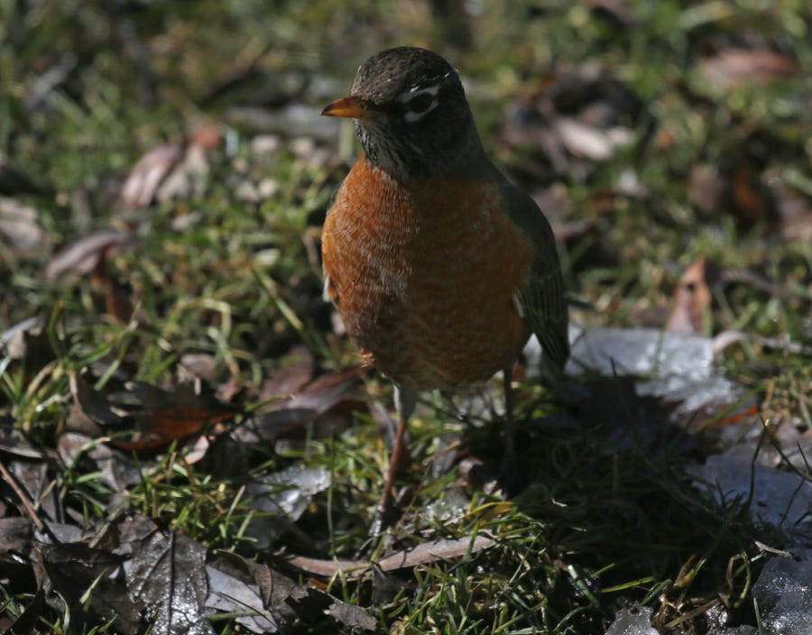 A robin makes an appearance looking for food in Bayside on Saturday, March 16, 2019. Photo by Mike De Sisti/Milwaukee Journal Sentinel