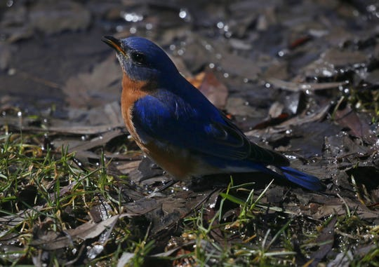 "An eastern bluebird: A new study published Monday by National Audubon Society scientists shows climate change is causing ""a measurable shift of birds' ranges during winter and breeding seasons."""
