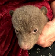 This bear cub is one of two that were found earlier in March along Highway 96 in Siskiyou County. Department of Fish and Wildlife officers believe one or more people had a hand in separating the young bears from their mother.
