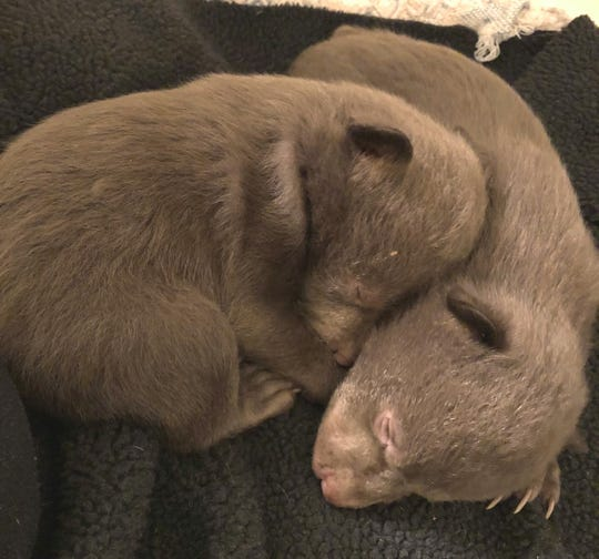 These two bear cubs were found along Highway 96 in Siskiyou County. The orphans are now being cared for at Lake Tahoe Wildlife Care.