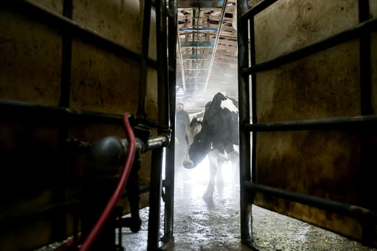 In this Friday, March 1, 2019 photo, cows wait their turn for the first milking of the day at J & K Dairy, in Sunnyside, Wash. J & K Dairy was one out of the several farms that lost over 1,800 dairy cows in the Yakima Valley from the Feb. 9 blizzard. Today, dairy farmer Jason Sheehan and his crew are working to help heal cows that are suffering from frostbite after the storm.