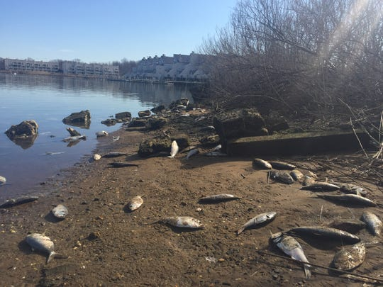Dead menhaden line the shore of the Oceanport Creek on March 18. 2019.