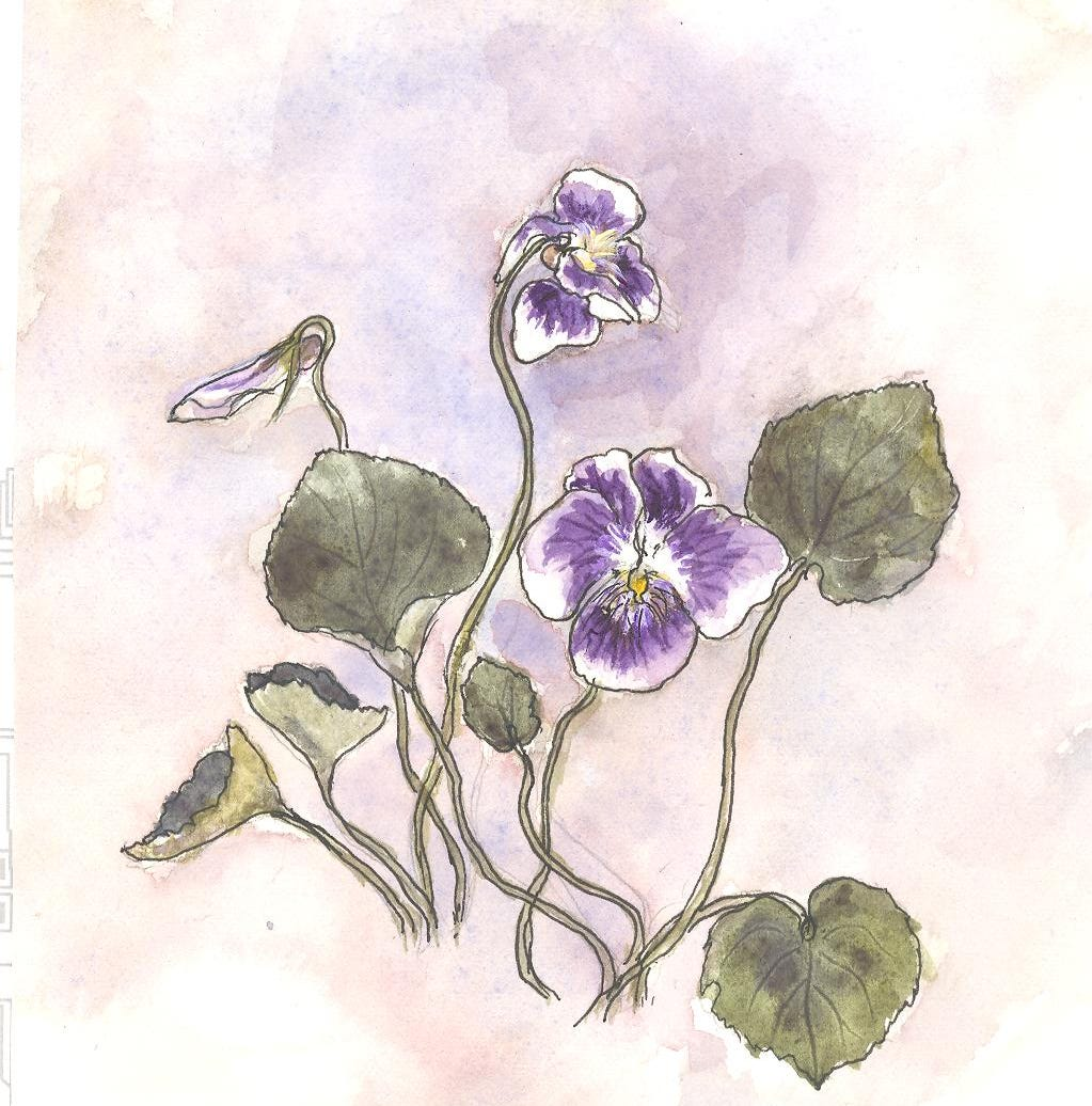 Nature Journal: The Confederate Violet