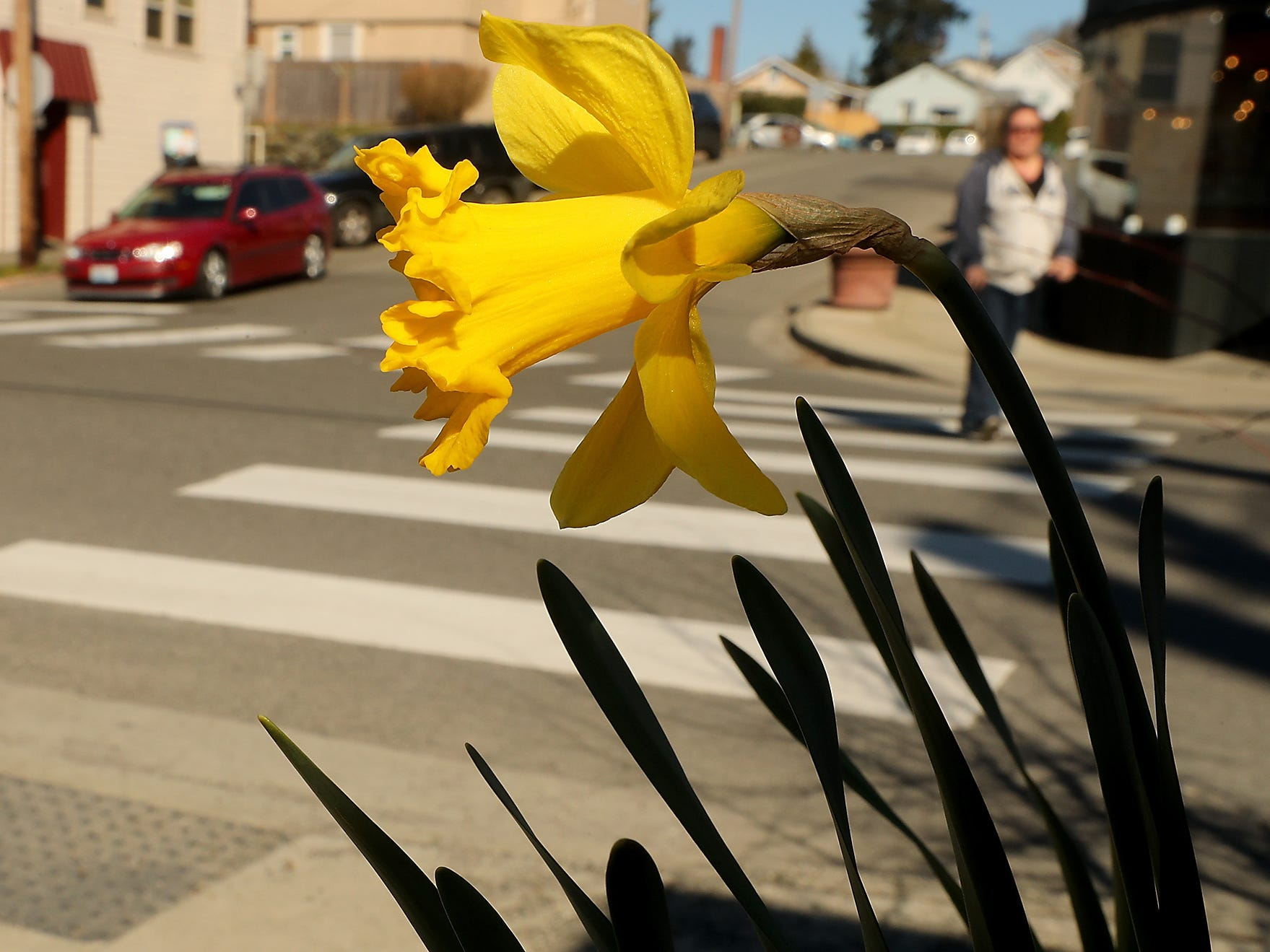 A daffodil blooms on the corner of 11th and Pitt in Manette on Monday, March 18, 2019.