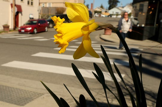 A daffodil blooms on the corner of 11th and Pitt Avenue in Manette on Monday. The first day of spring is Wednesday.