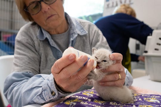 Volunteer Sandy Groves feeds a four-week-old kitten in the Gulf Coast Humane Society's newly opened neonatal orphan nursery on Monday, March, 18, 2019.