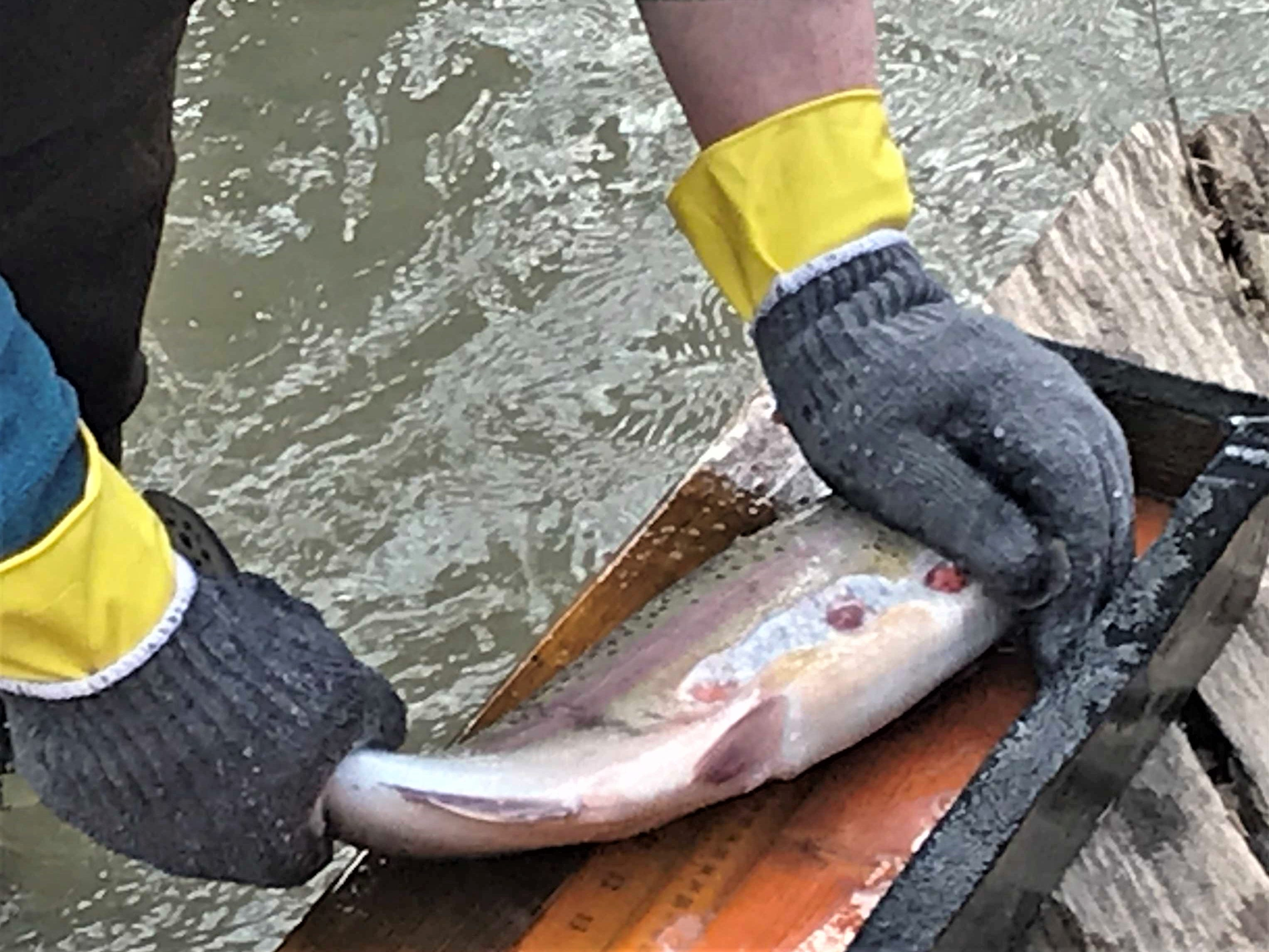 Many of the rainbow trout examined by DEC during Monday's sampling of Catharine Creek showed the scars of parasitic lamprey eels.