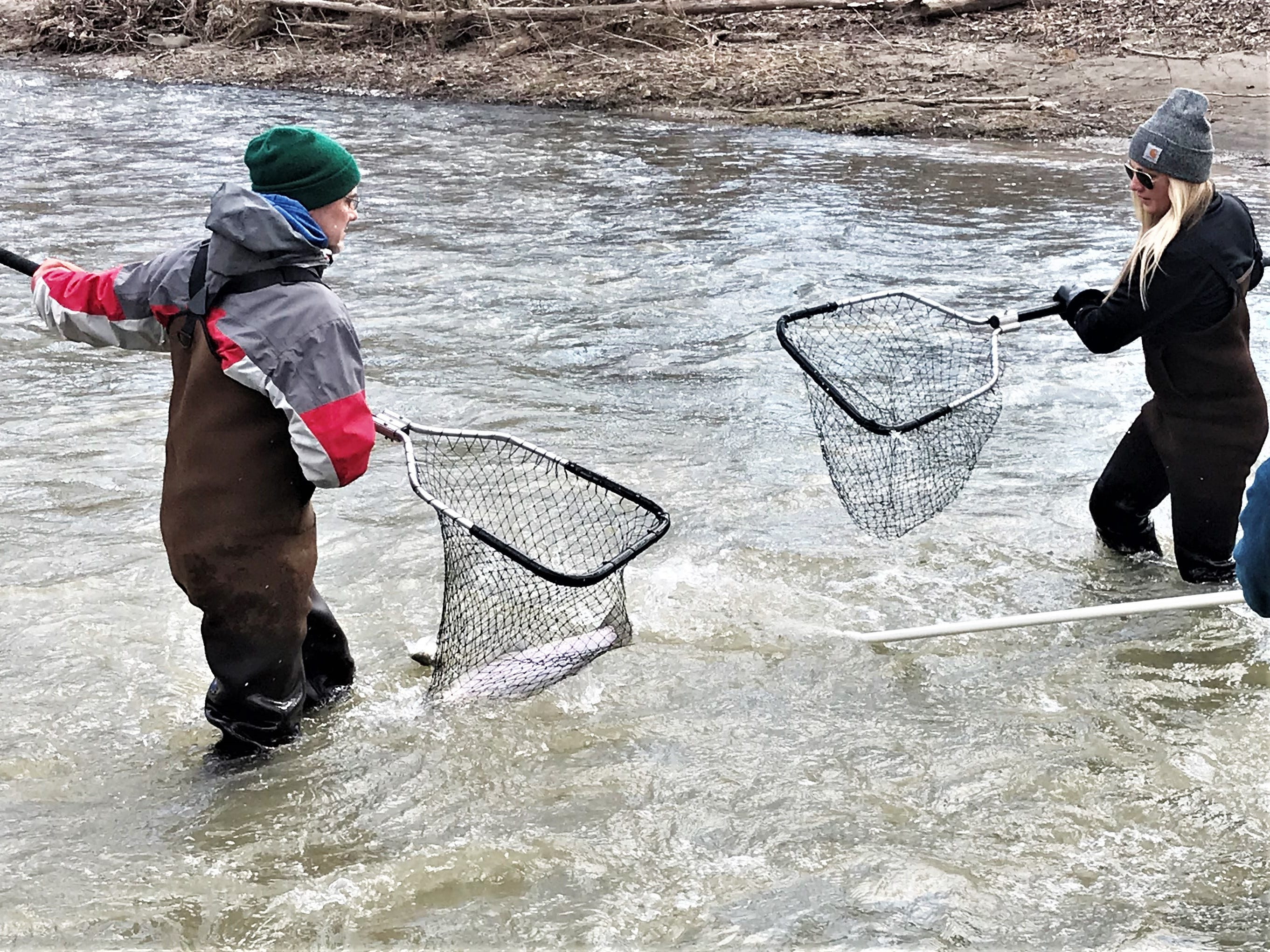 DEC staffers scoop up rainbow trout from Catharine Creek on Monday.