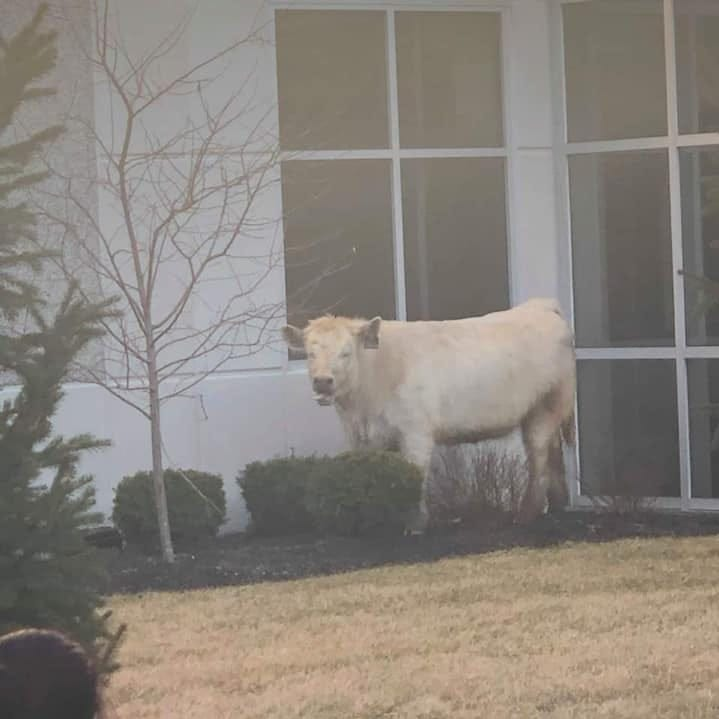 Cow on the moo-ve: Animal roams Noblesville streets, heads to Chic-fil-A