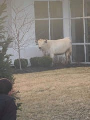 A cow escaped a transport trailer and roamed Noblesville streets on Saturday, police said.