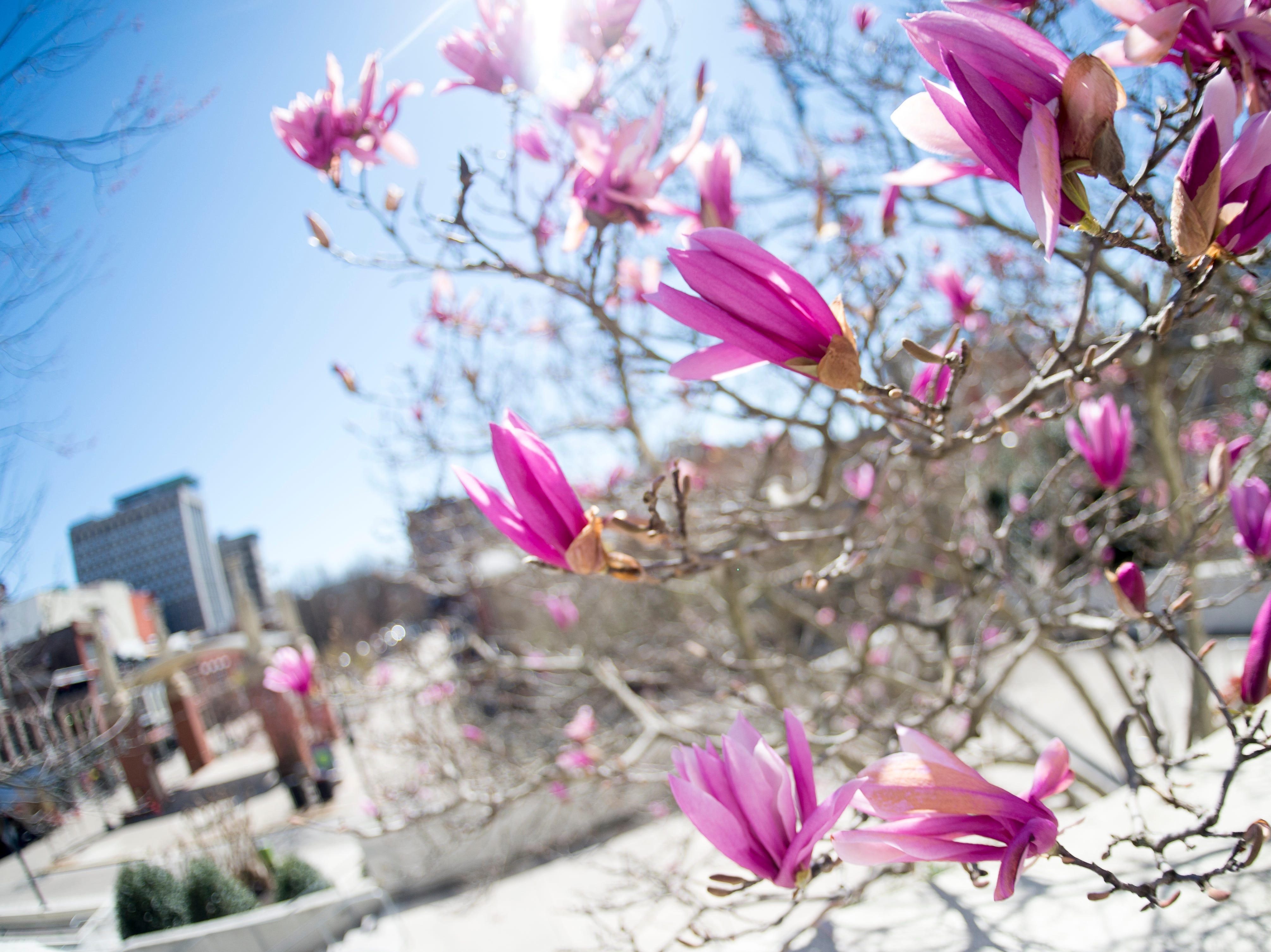 A tree blooms outside of the TVA towers in Market Square in downtown Knoxville, Tennessee on Monday, March 18, 2019.