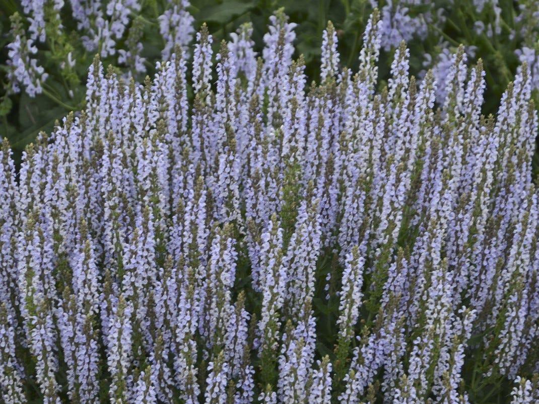 Perfect Profusion Salvia is a phenomenal rebloomer.