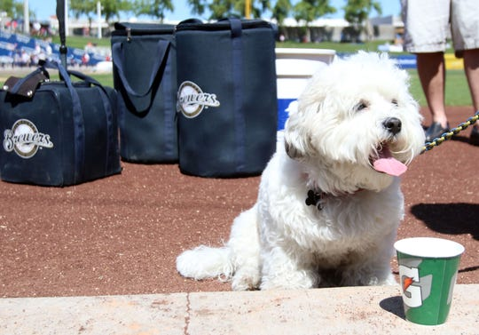 """The Brewers adopted """"Hank"""" after he wandered into the Maryvale spring training complex in 2014."""