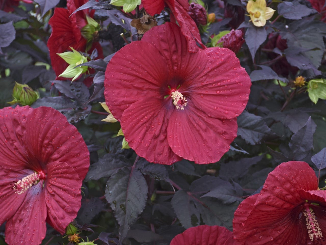 Summerific Holy Grail Hibiscus has flowers that are enormous at 8 to 9 inches across.