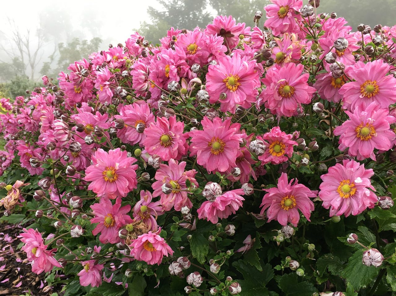 The Fall In Love Sweetly Anemone is a fall-blooming plant that will give you that burst of color your garden craves that time of year.