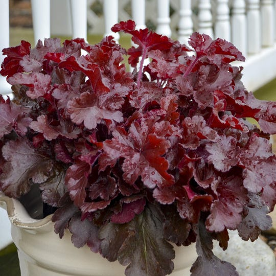 Cherry Truffles Heuchera can be grown like an annual in combination containers and look great all year long.