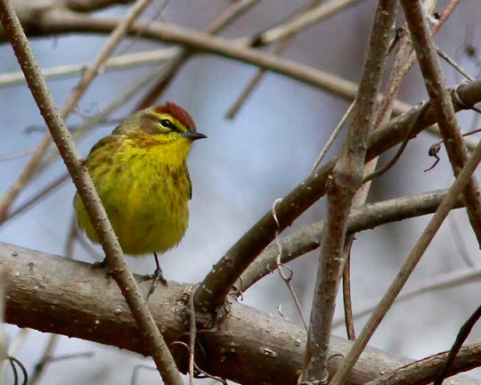 The colorful palm warbler usually shows up in North Jersey by late March
