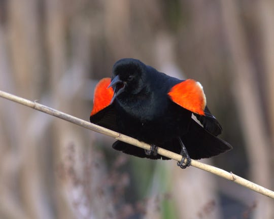 This male red-wing blackbird struts his brilliant epaulets.