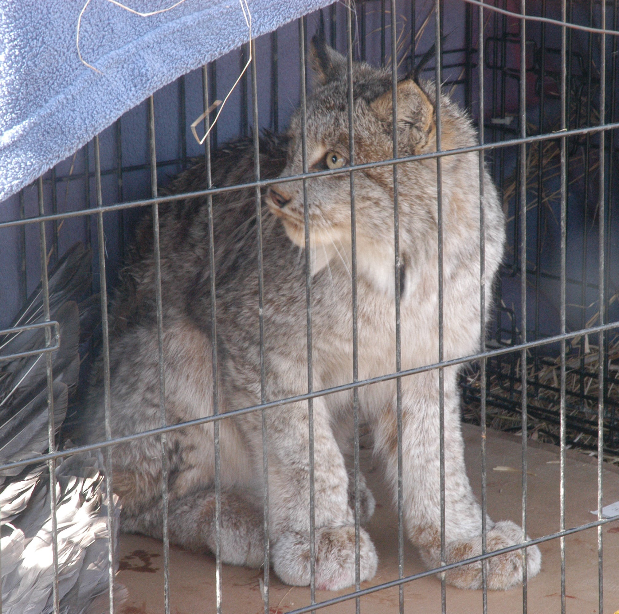 Lynx trapped after attacking geese