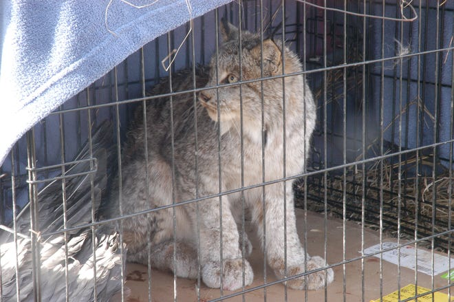 A lynx sits in a cage after being captured from a farm near Harbor Beach, Michigan.
