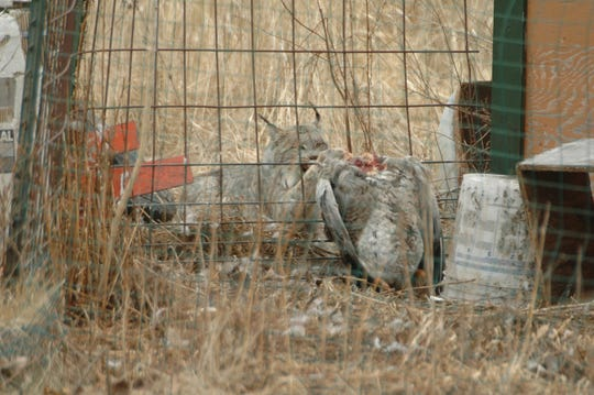 A lynx chews on a goose through a fence at a property near Harbor Beach.