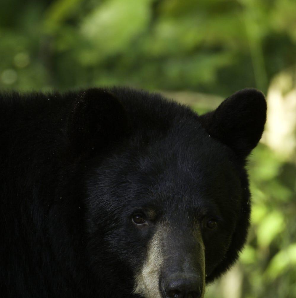 As Missouri bear population grows, humans adapt