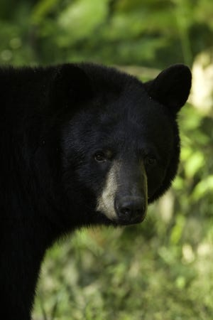 A black bear sow sniffs the air for danger in Forsyth.