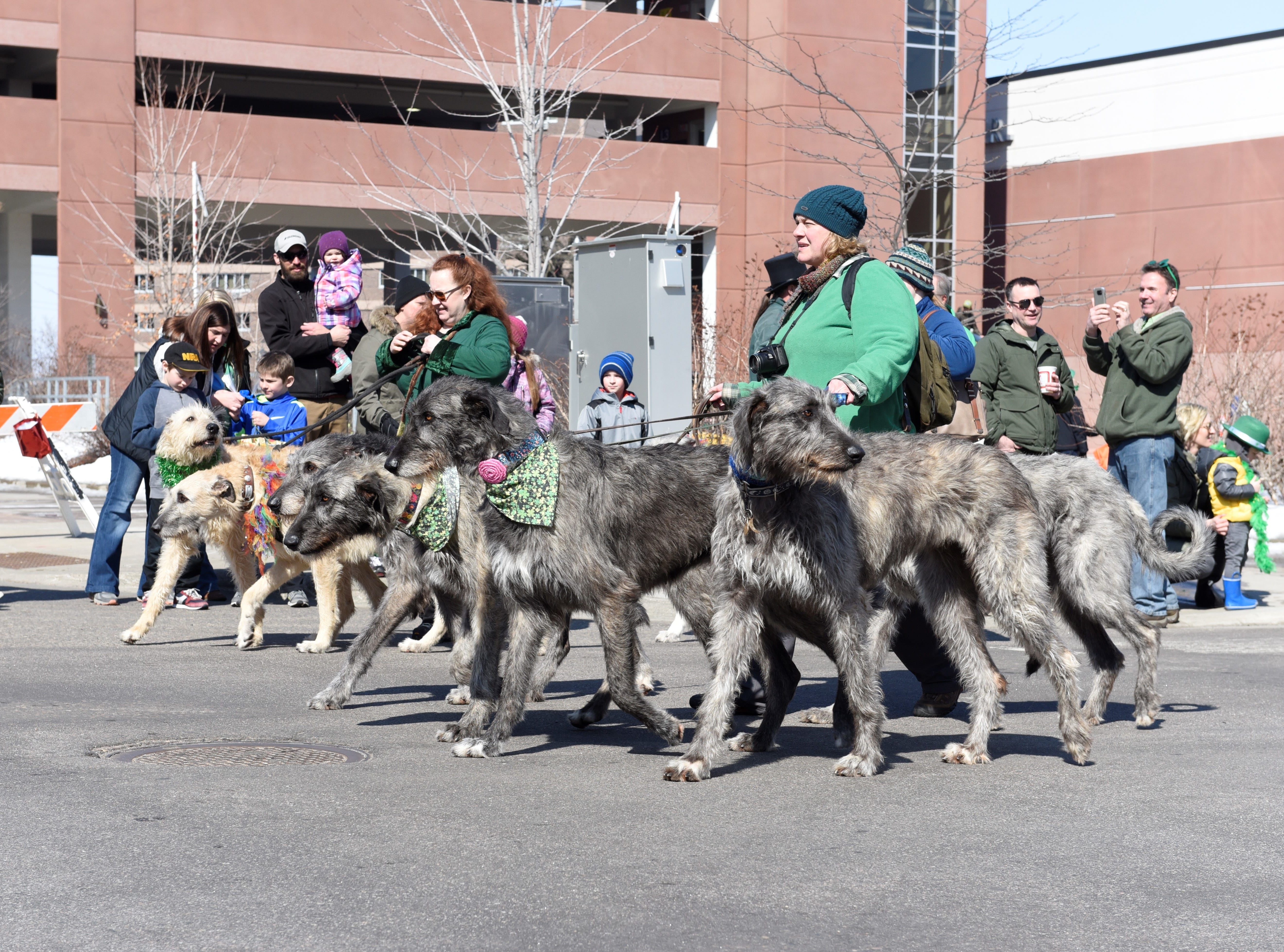 Irish wolfhounds walk in the St. Cloud St. Patrick's Day Parade, March 17, 2019.