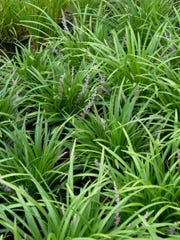 Beds and borders of liriope often become congested, thick, worn and overcrowded. Now is a great time to dig up the plants and divide them. Replant the bed with the divisions spaced to allow good air movement.