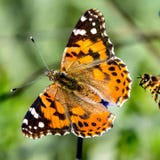 Painted lady butterflies are migrating by the millions across Southern California, so get out and enjoy them while you can.