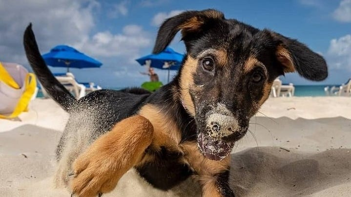 Aiming to curb the number of homeless pups in the Turks and Caicos Islands, Potcake Place opened nearly 20 years ago in Providenciales and today is the go-to for tourists looking to adopt a pup or take one to the beach for the day.